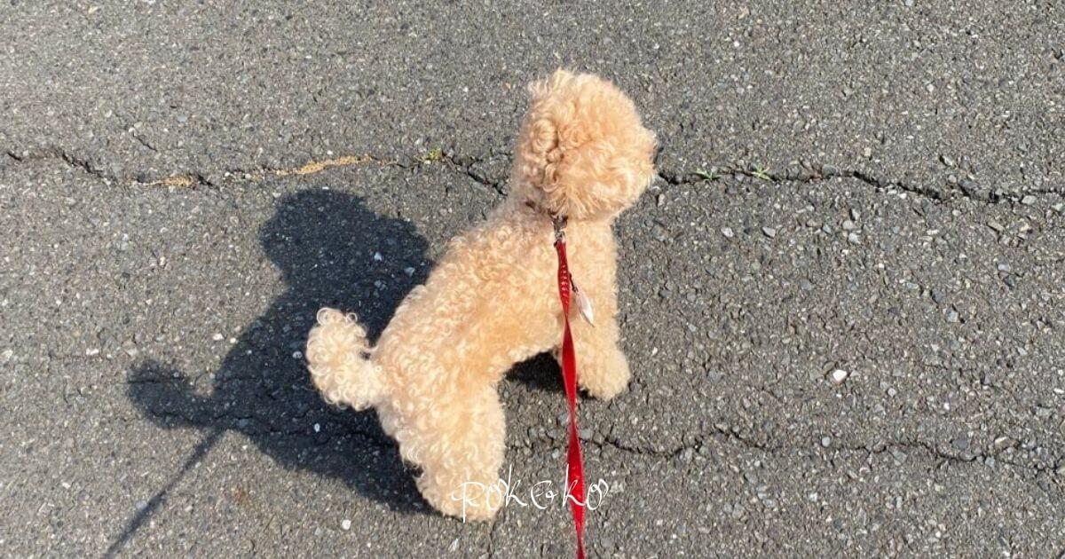 妊娠中の犬の散歩